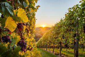 Weinsüden Weinorte im HeilbronnerLand | Foto Neckar-Zaber-Tourismus